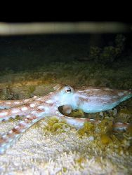 Octopus ornatus hunting during a night-time low tide, in ... by Christine Huffard