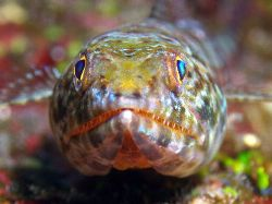 Lizard fish- front on- scary looking teeth. Great Barrier... by Joshua Miles