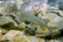 Pike in the shallows of Stoneycove (inland dive site) by Ian Palmer