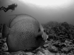 Angelfish and diver. 10.5 mm fisheye lens. No strobe. by David Heidemann