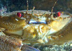 Velvet swimming crab. Isle of Lewis. D200 60mm by Mark Thomas