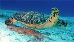 A turtle cruising the flats. Canon SD550. Cozumel. by Paul Holota