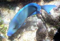bright colored blue tang swimming at the corral gardens r... by Andrew Kubica