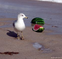 Muddy-footed seagull interested in some ripe watermelon o... by Andrew Kubica