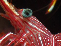 Cleaner shrimp. Great Barrier Reef- Aust Macro by Joshua Miles