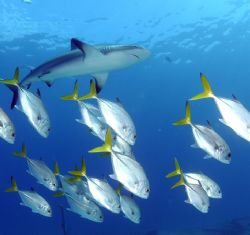 Caribbean Reef Shark with a few horse eye jacks. Nikon D7... by Tara Artner