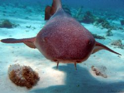 nurse shark's face up close- Corral Gardens Reef Grand Ca... by Andrew Kubica