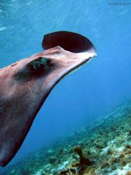 different angle on a stingray- great view of her spine st... by Andrew Kubica