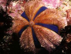 Jewel Urchin. Nikonos V 28mm lense with 1:5 close up by Marylin Batt