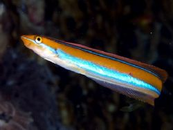Blue striped sabretooth blenny taken at Quays Ras Mohamed... by Nikki Van Veelen