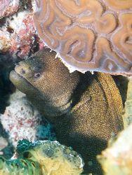 Moray ell, hiding under brain cora. Olympus E330 + epoque... by Steve Laycock