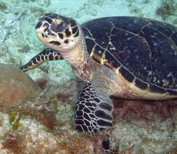 Hawksbill Turtles are my favorite by Lora Tucker