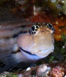 Redsea combtooth blenny taken at Quays site, Ras Mohamed ... by Nikki Van Veelen