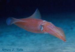 Squid. Taken during a night dive in the northwest of Gran... by Arthur Telle Thiemann