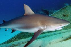 Close encounter with a Caribbean reef shark. Fuji Finepix... by Stuart Spechler