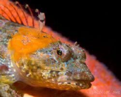 Coraline Sculpin, Artedius corallonus, Coast Guard Breakw... by Dan Blum