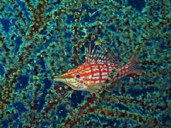 Hawkfish On A Seafan. Taken In Tulamben With Canon S80. by Edvin Eng