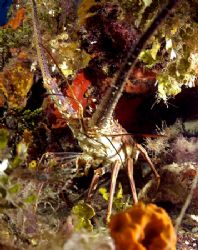 Lobster poking head out to check out my dome. Rather frie... by Tara Artner