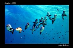 Midnight Snappers. Sipadan. With all turtles and white ti... by Johan Torfason