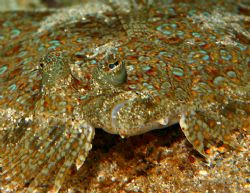 Flatfish. I believe this is a Panther Flounder. I found h... by Mathew Cook