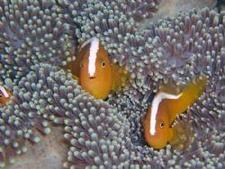 Clownfish at Bunaken by Jose Rodriguez