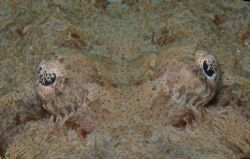 Crocodile fish relaxing with a pal. by Howard Gilmour