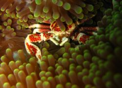 Spotted Porcelain Crab being shy for camera by Mulwardi Tjitra