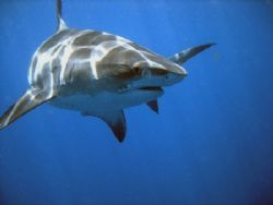 Tiger shark near the surface, South Africa. Sony Cybersho... by Samuel Kemp
