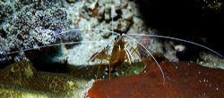 Cleaner shrimp, Maldives 2006 Nikon D70, 60mm. by Chris Wildblood