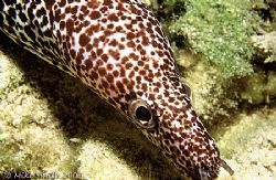 Love the eyes on this Spotted Moray. Night Dive, Bahamas.... by Mike Smith