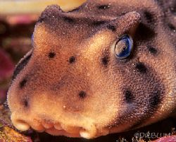 Horn Shark, Heterodontus francisi, Face Detail,