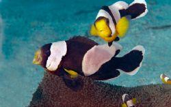 Saddleback anemone fish, Solomon Islands by Andy Lerner