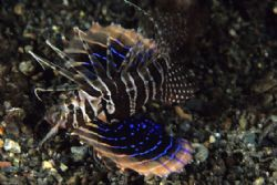 Gurnard Lionfish, quite a stunning fish by Richard Smith
