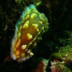 """""""Troll of the Sea"""". Clumpy Sea Slug- taken in Pupekea, HI. by Mathew Cook"""