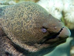 moray eel taken at small crack lagoon in red sea by Matt Sawers