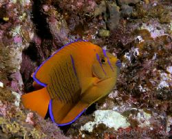 Juvenile Clarion Angel,Isla San Benedicto, endemic to the... by Dan Blum