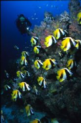Schooling bannerfish in a Maldivian channel by Richard Smith