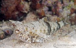 Lizard fish. S2PRO,60mm. by Derek Haslam