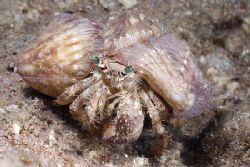 Hermit crab. Sharks bay. D200, 60mm. by Derek Haslam