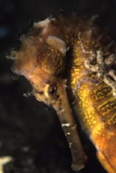 Thorny Seahorse with a brittlestar on its neck by Richard Smith