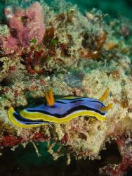 Nudi- Found three of these on one dive. Enjoy C5060 L&M M... by Joshua Miles