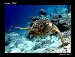 Hi guys, the sharks are over there! Turtle at Sipadan. P... by Johan Torfason