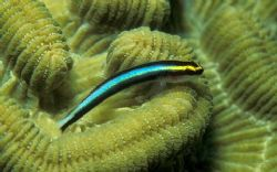 Sharknose goby (Gobiosoma genie) on boulder brain coral (... by Laszlo Ilyes