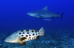 don't look behind! a bull shark passes overhead a wary po... by Fiona Ayerst