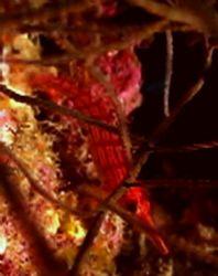 Hawk fish in fan, Sony PC350, taken while diving on the ... by Marylin Batt