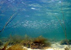 Memories of sunnier days - sand eels in Streamstown Bay, ... by Mark Thomas