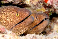 A Pair of Yellow Margin Morays.