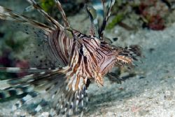 Lionfish close to shore by Andy Lerner