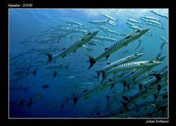 Back again!  After a couple of weeks the barracudas was... by Johan Torfason