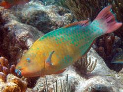 """Big colorful parrot fish, I heard they are called """"blue j... by Andrew Kubica"""